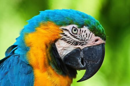 A blue and yellow macaw closeup photo