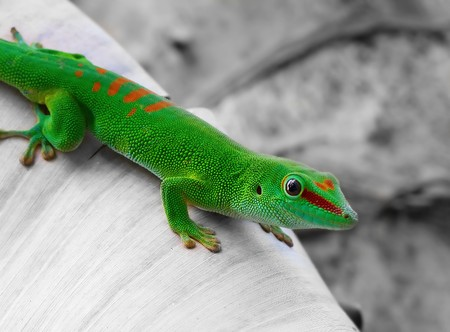 chameleon: Madagascar day gecko on black and white bacground
