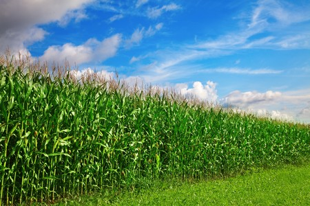 Corn field under blue sky with some clouds Stock Photo - 8157372