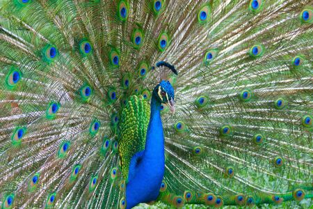 Beautiful color peacock with fully opened tail photo