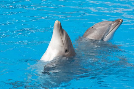 bottlenose: pair of the bottle-nose dolphins in aquarium