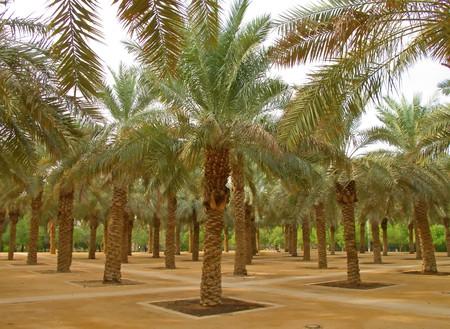 palm garden: Palm garden in the Riyadh city, Saudi Arabia Stock Photo