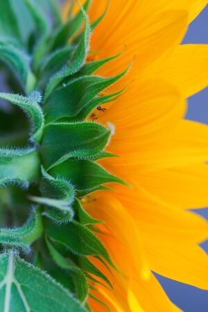Sunflower head from the unusual angle photo