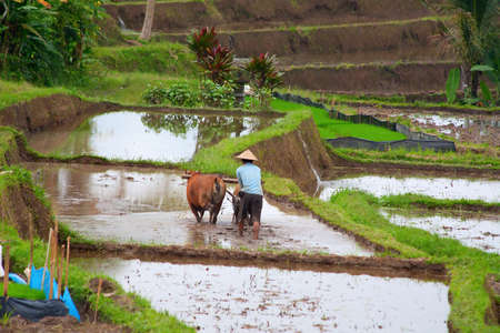 A Man workin on a traditional balinese terraced rice field photo