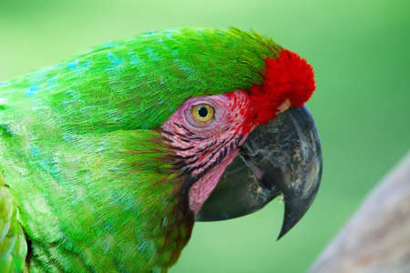 maccaw: Green Parrot with red feathers (Military maccaw)
