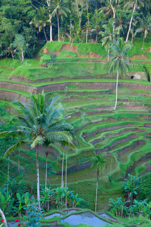 Traditional balinese terraced rice field on the north part of the island Stock Photo - 8254410