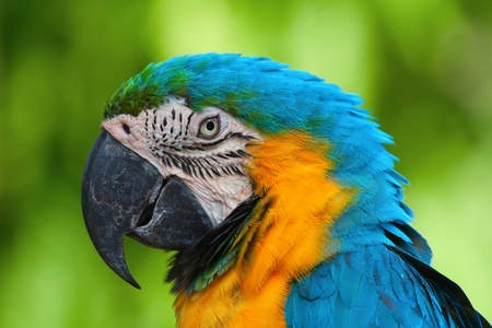A blue and yellow macaw closeup Stock Photo - 8472296