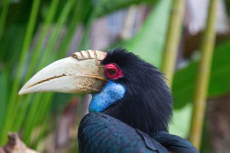 hornbill: Close-up of the male Hornbill