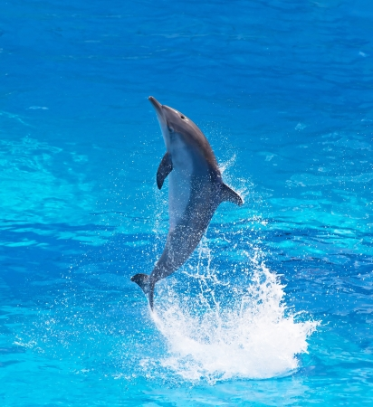 Bottlenose dolphin jumping high from bue water Foto de archivo