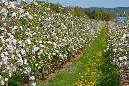 Blossoming apple garden in spring photo