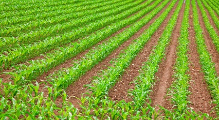 young green corn seedling on the field Stock Photo - 8628864