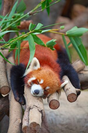 Red panda (firefox) sleeping on the tree photo