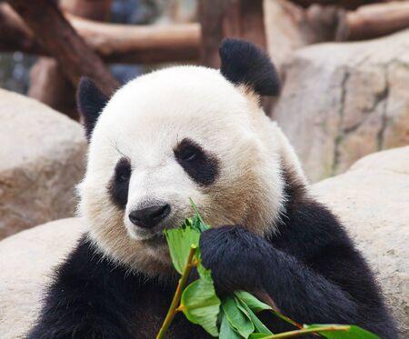 Giant panda bear eating bamboo leafs photo