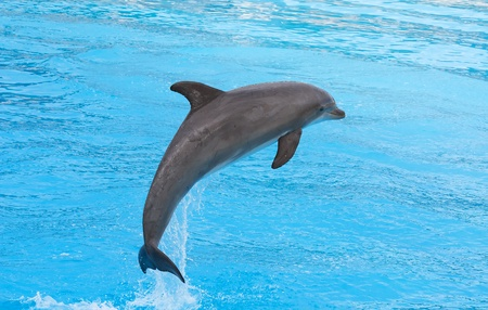 dolphin: Bottlenose dolphin jumping in the aquarium show Stock Photo