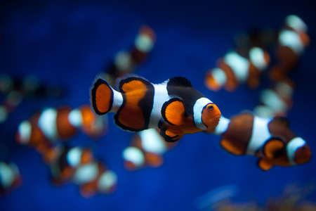 false percula: Clown fish in a deep blue water
