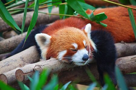 Red panda (firefox) sleeping on the tree photo