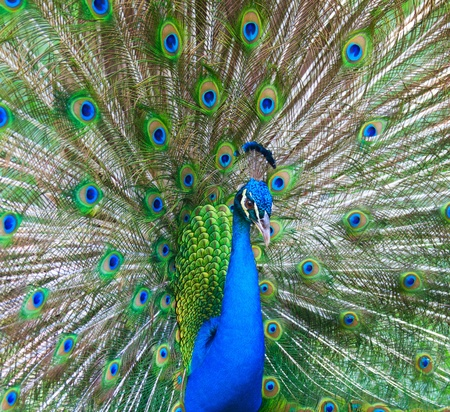 Beautiful male peacock with colorful tail fully open photo