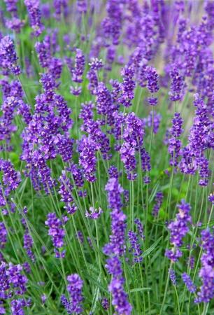 fiori di lavanda: Closeup di fiori di lavanda sul campo