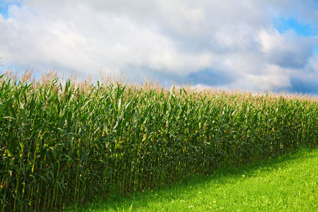 Corn field under cloudy sky Stock Photo - 9035918
