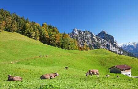 beautiful cow: Autumn (indian summer) in swiss alps