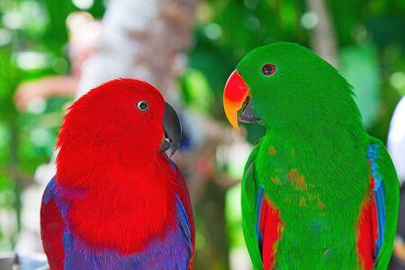 truelove: Birds in love: Pair of lori parrots on the tree Stock Photo