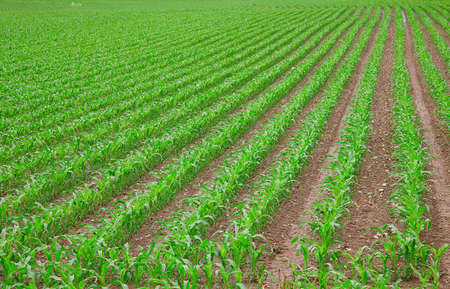 young green corn seedling on the field Stock Photo - 9241111
