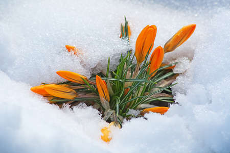 first yellow crocus flowers, growing in the snow photo