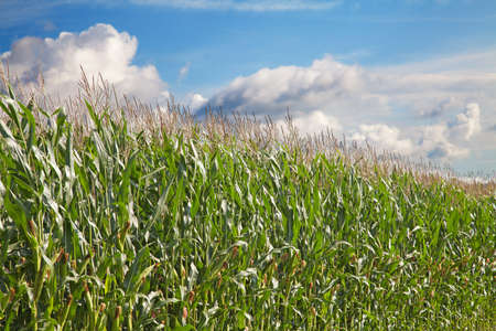 Corn field under cloudy sky Stock Photo - 9344507