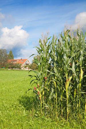 Corn field near farm (Typical swiss rural landscape) Stock Photo - 9388787
