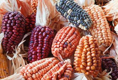 Decorative corn on the autumn market photo