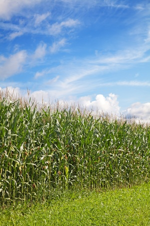 Corn field under blue sky with some clouds Stock Photo - 9769013