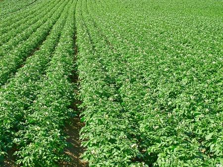 Potato field under bright summer sun Stock Photo - 9771641