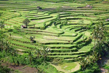 Rice fields, prepared for rice. Bali, Indonesia photo