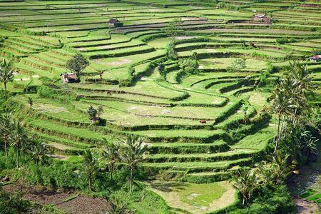 Rice fields, prepared for rice. Bali, Indonesia photo