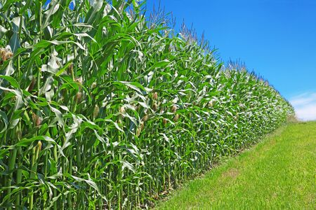 Corn field under blue sky Stock Photo - 10024039