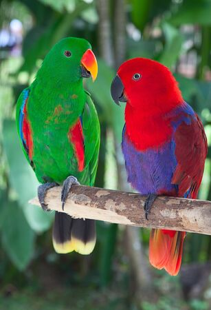 truelove: Birds in love: Pair of lori parrots on the tree Stock Photo