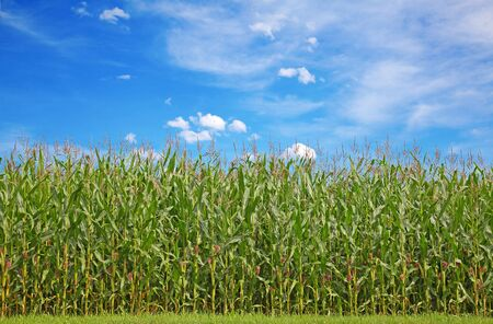 Corn field under blue sky with some fluffy clouds Stock Photo - 10282111