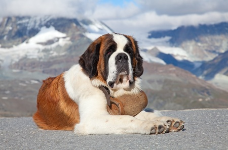 St. Bernard Dog with keg ready for rescue operation Stock Photo - 10282096