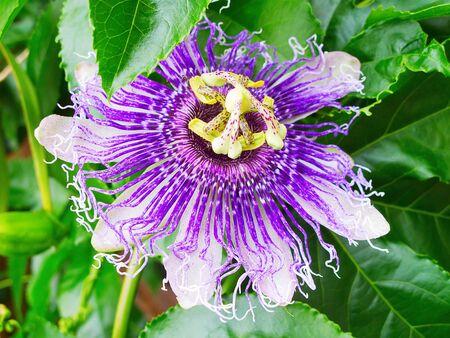 Exotic Maracuja (passion fruit) flower photo