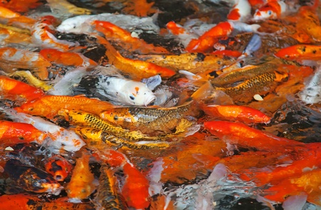 Colorful Koi or carp chinese fish in water Stock Photo - 10478555