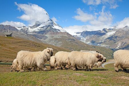 Small herd of sheep in swiss alps photo