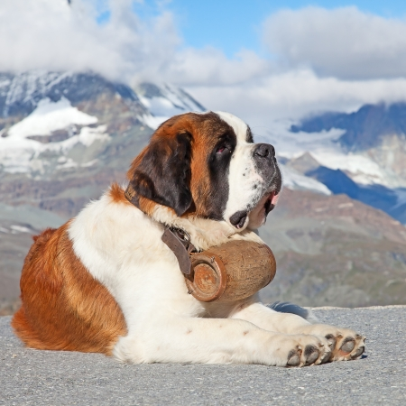 St. Bernard Dog with keg ready for rescue operation Stock Photo - 10543548