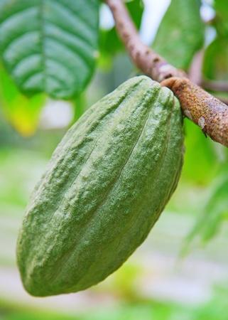 Cocoa tree with pod, Bali island, Indonesia photo