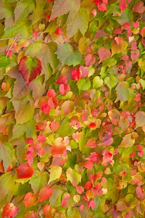 Colorful ivy leafs on the wall photo