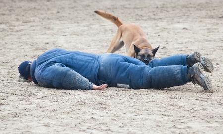 perro policia: Perro polic�a ataca presunto delito a la formaci�n Foto de archivo