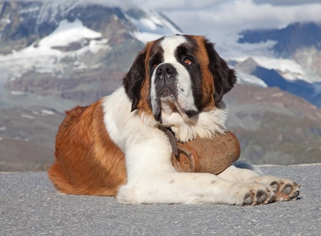 St. Bernard Dog with keg ready for rescue operation Stock Photo - 11009061