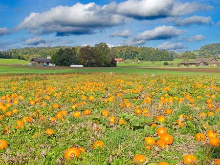 Colorful ripe pumpkins on the field Stock Photo