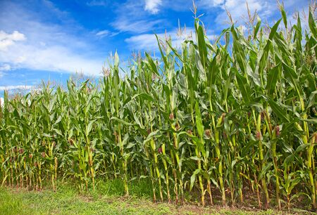 Corn field under blue sky with some fluffy clouds Stock Photo - 11235672