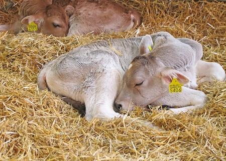 Terneros pequeños en el granero