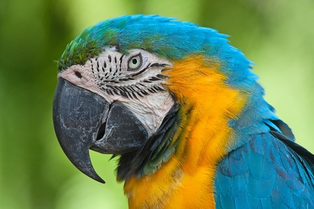 Parrot, Blue-and-yellow Macaw (Ara ararauna) photo